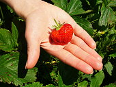 Fresh strawberry straight from the field laying on girls hand