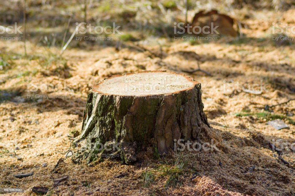 Fresh stump in the forest stock photo