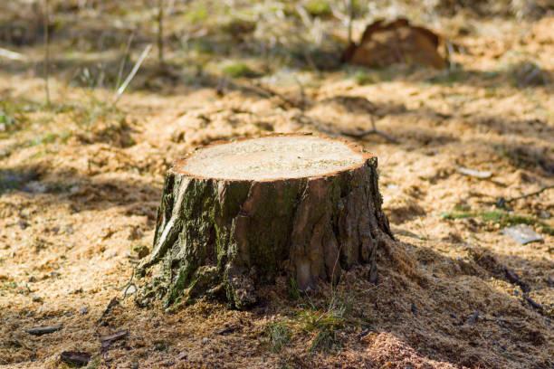 Fresh stump in the forest – zdjęcie