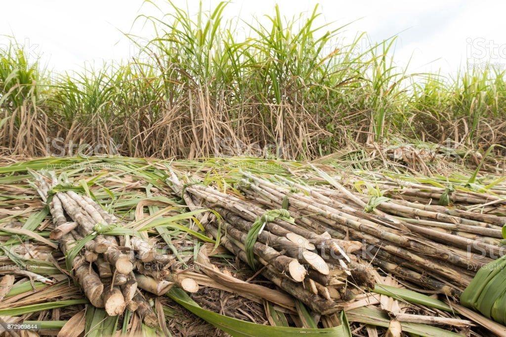 fresh sugarcane in garden. stock photo