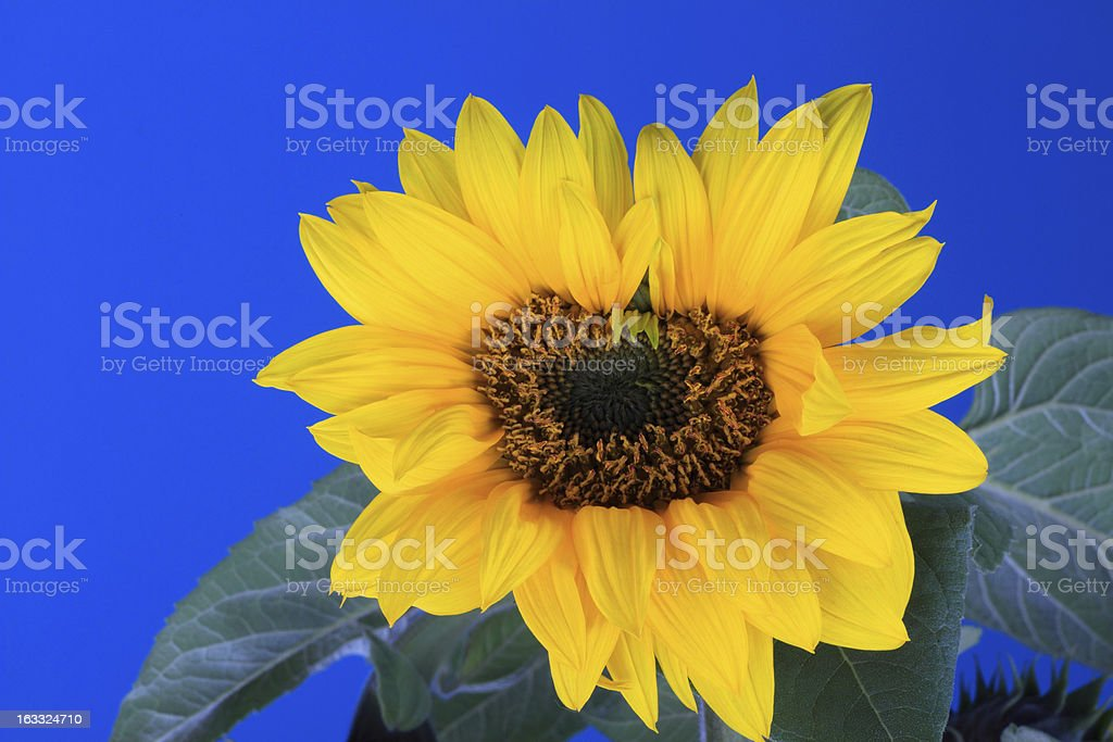 Fresh Sunflower with blue sky background royalty-free stock photo
