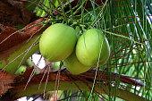 Fresh sweet green coconut on the tree