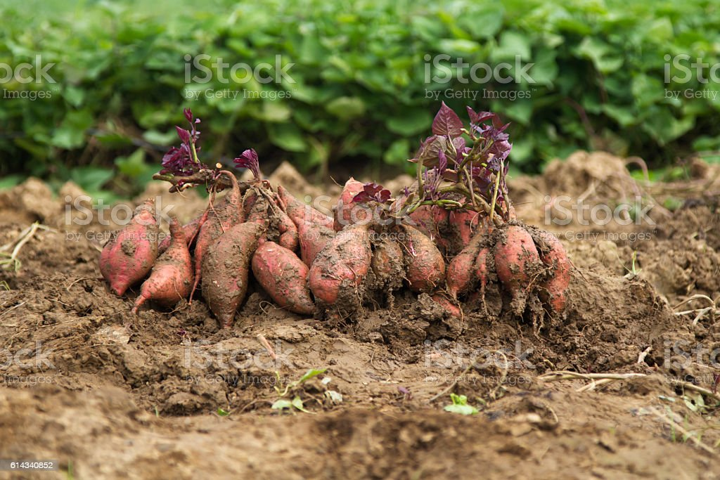 Fresh sweet potato at organic farm - fotografia de stock