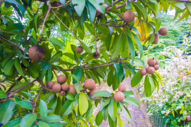Fruta fresca sapodilla doce com folhas de árvore - foto de acervo