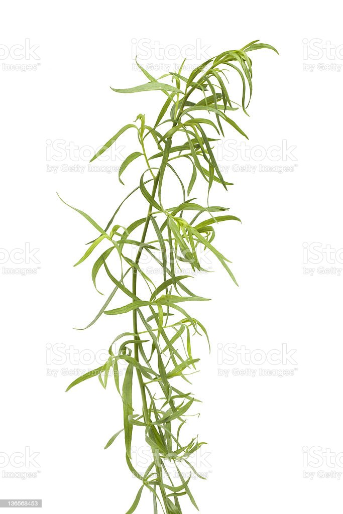 Fresh Tarragon branch and leaves royalty-free stock photo