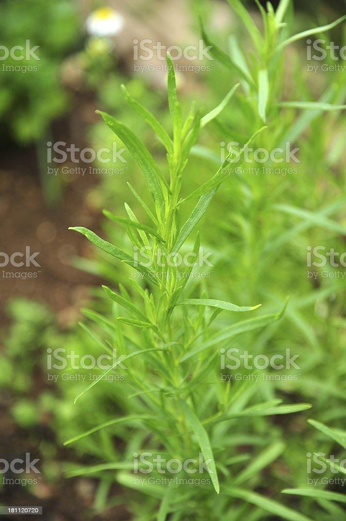 Fresh tarragon/Artemisia dracunculus in herb garden royalty-free stock photo