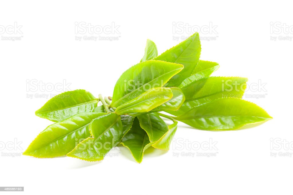 Fresh tea branch isoalted on the white background stock photo