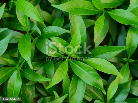 Tea Crop, Plant, Crop - Plant, Sri Lanka, Asia