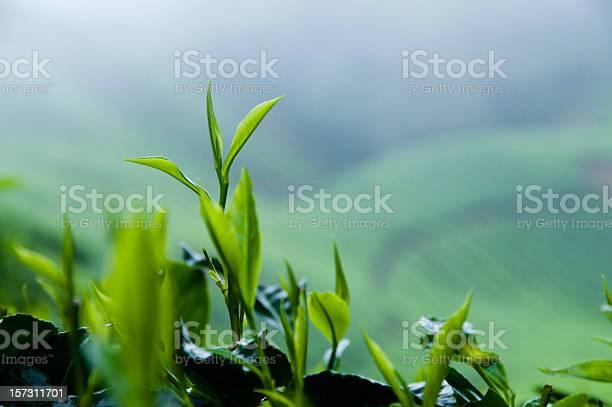 Fresh tea growth picture id157311701?b=1&k=6&m=157311701&s=612x612&h=acym12ek38ajlbe6uu4yzt7tzidwdkpzvcrunt cksw=