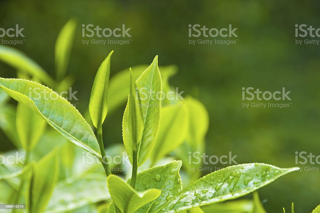 Fresh Tea Growth stock photo