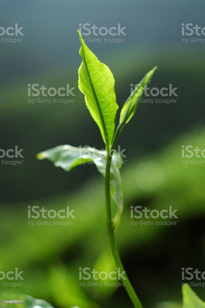 Fresh Tea Leaf royalty-free stock photo