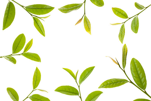 fresh tea leaves - tea leaf stock photos and pictures