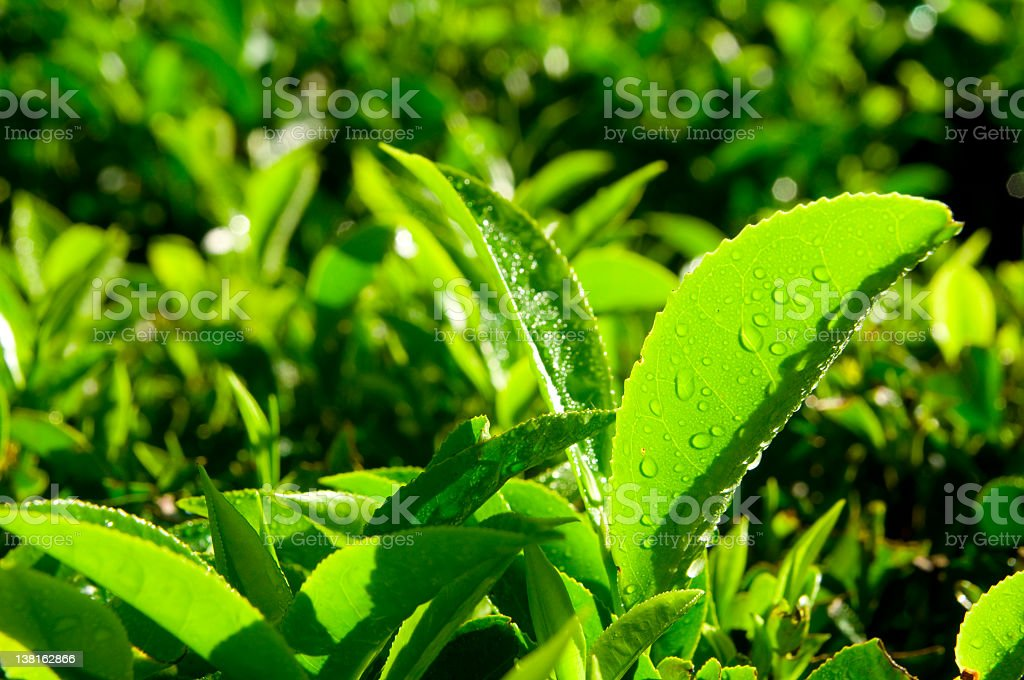 Fresh Tea royalty-free stock photo