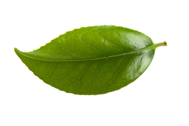fresh tea - tea leaf stock photos and pictures