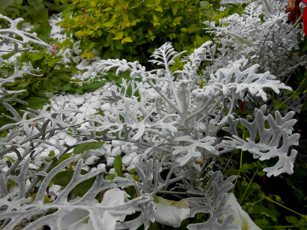 fresh terry silvery leaves Cineraria background of fresh  terry fluffy white silvery leaves Cineraria in the garden miller park stock pictures, royalty-free photos & images