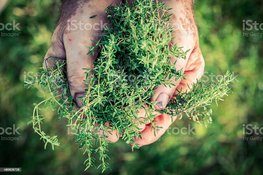 Fresh thyme in hands stock photo