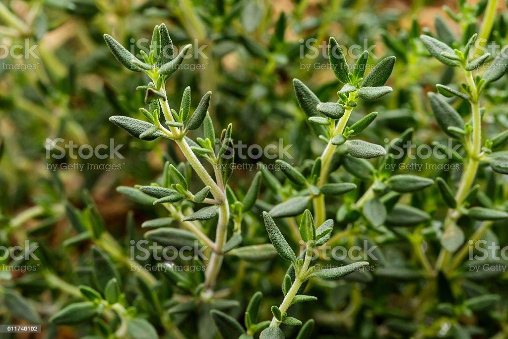 fresh thyme plant details stock photo
