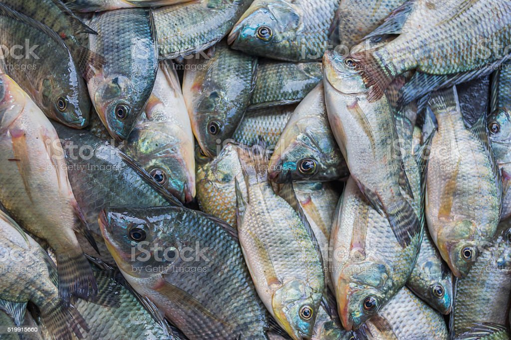 fresh Tilapia in floating basket stock photo