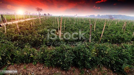 istock Fresh tomato garden 1133995749
