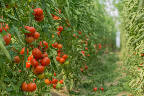 fresh tomatoes in greenhouse - tomato field stock photos and pictures