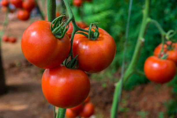 fresh tomatoes on the tree in the garden. - tomato field stock photos and pictures