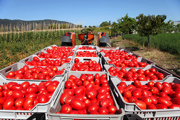 fresh tomatoes on tractor - tomato field stock photos and pictures