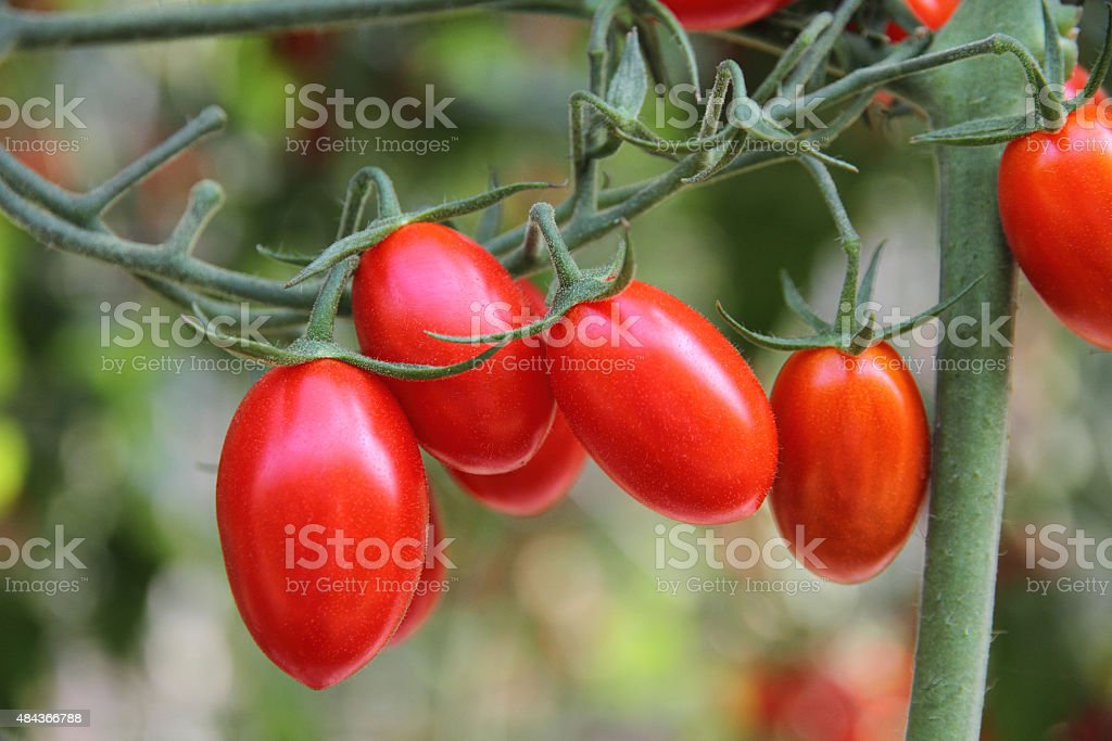 Fresh tomatoes plants stock photo