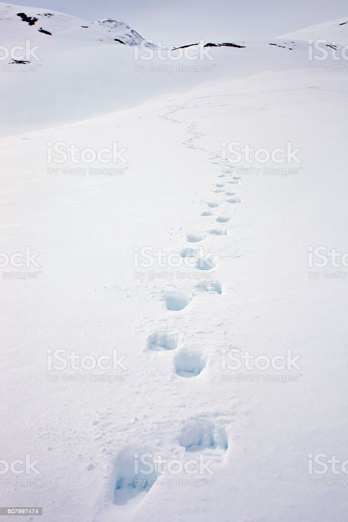 Fresh trail running  Kamchatka brown bear on loose spring snow stock photo