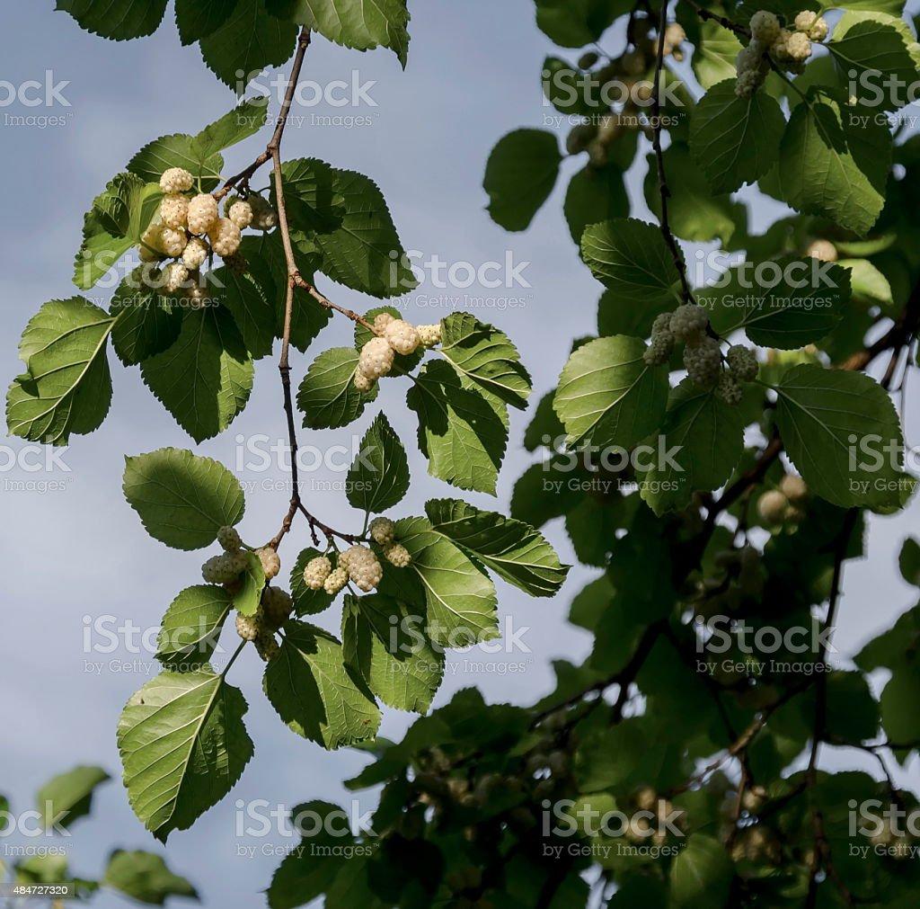Nova Árvore ramo com frutas de amoreira - fotografia de stock