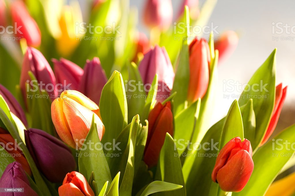 Fresh tulips bouquet royalty-free stock photo