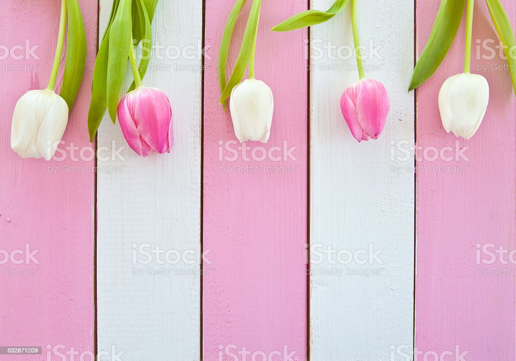 Fresh tulips on pink and white stock photo