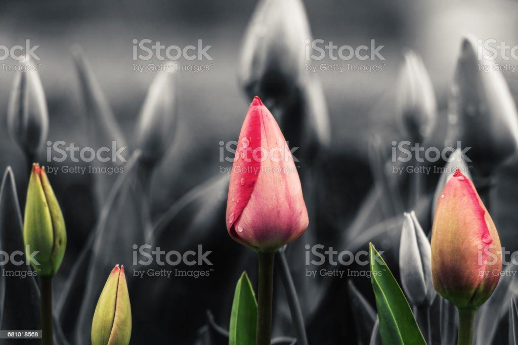 Fresh tulips royalty-free stock photo