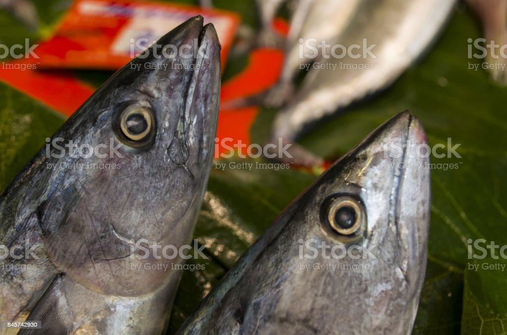 fresh two bonito fish stock photo