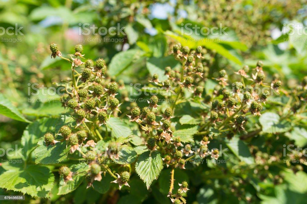 Fresh unripe Blackberry in the garden royalty-free stock photo