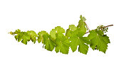 Fresh vine branch isolated on white background