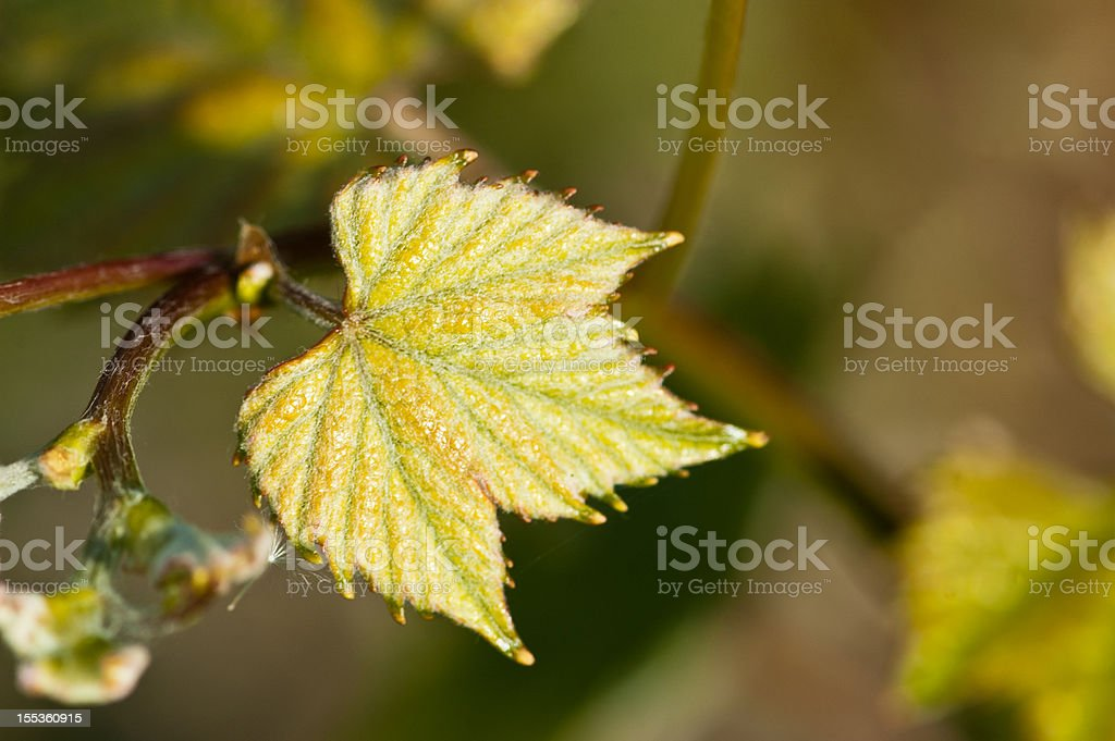 Fresh vine leaf with with fluff on it