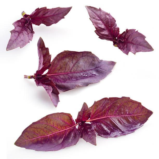 frische lila basilikum, isoliert auf weißem hintergrund - ocimum tenuiflorum stock-fotos und bilder