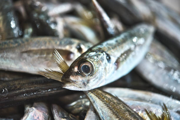 Fresh vivid Portuguese sardines on ice exposition at the fish market. stock photo