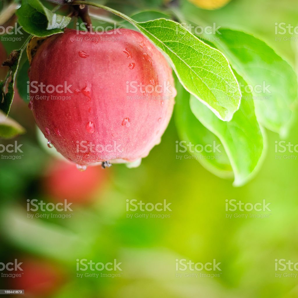 Fresh Washington State Apple stock photo