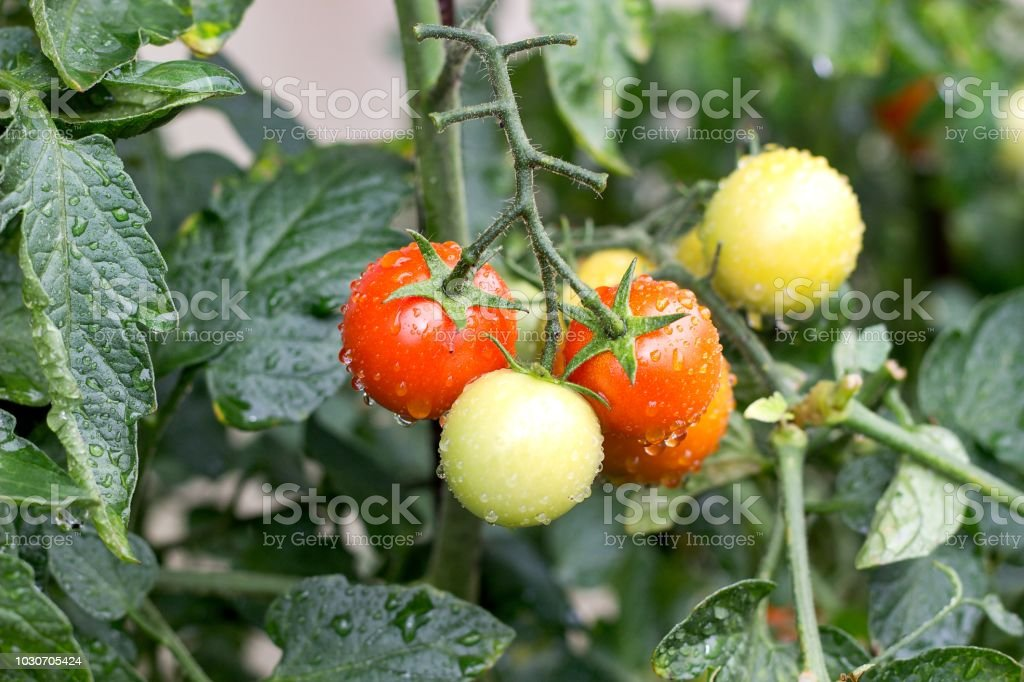 fresh wet tomatoes on the tomato plant stock photo