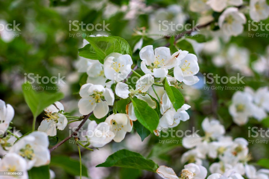 Fresh White And Pink Apple Tree Flowers Blossom On Green Leaves