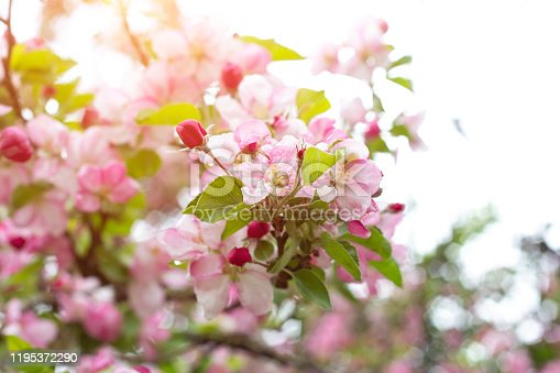 istock Fresh white and pink apple tree flowers blossom on green leaves background in the garden in spring 1195372290