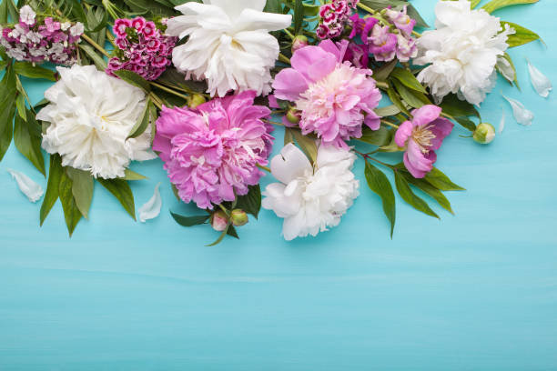 Fresh white and pink peonies flowers on turquoise painted wooden background. stock photo