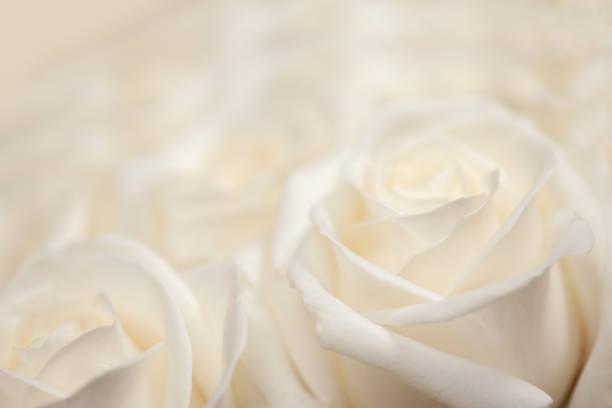 Fresh white blossoming rose picture id1126632561?b=1&k=6&m=1126632561&s=612x612&w=0&h=5dqgkpchr1s1kqbqmacx hkotjoup8iaqbs4lxwvfla=