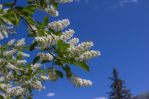Fresh white blossoms and buds on a Canada red cherry tree