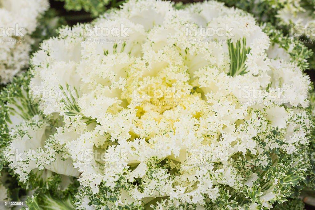 Fresh white cabbage (brassica oleracea) plant leaves stock photo