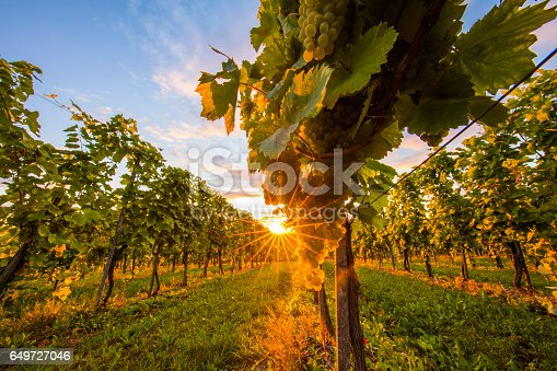 Fresh white grapes hanging from plant at vinery. Grape plants are growing on field. Vineyard is against sky during sunset.