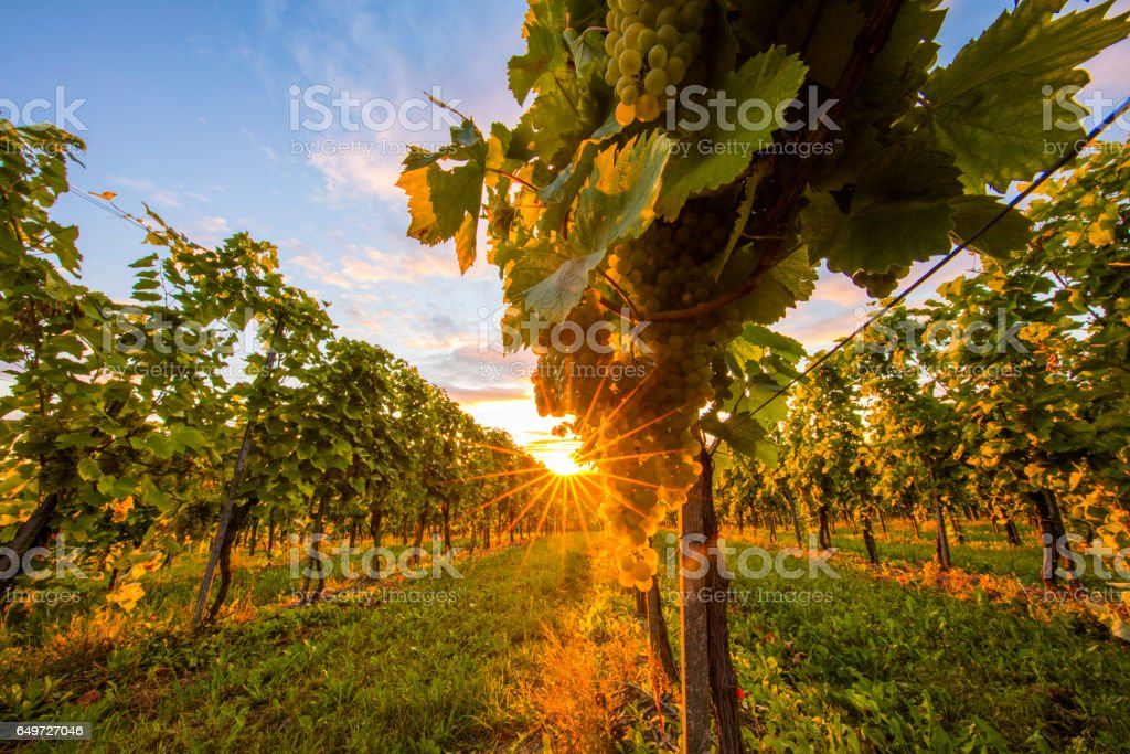 Fresh white grapes hanging from plant at vinery stock photo