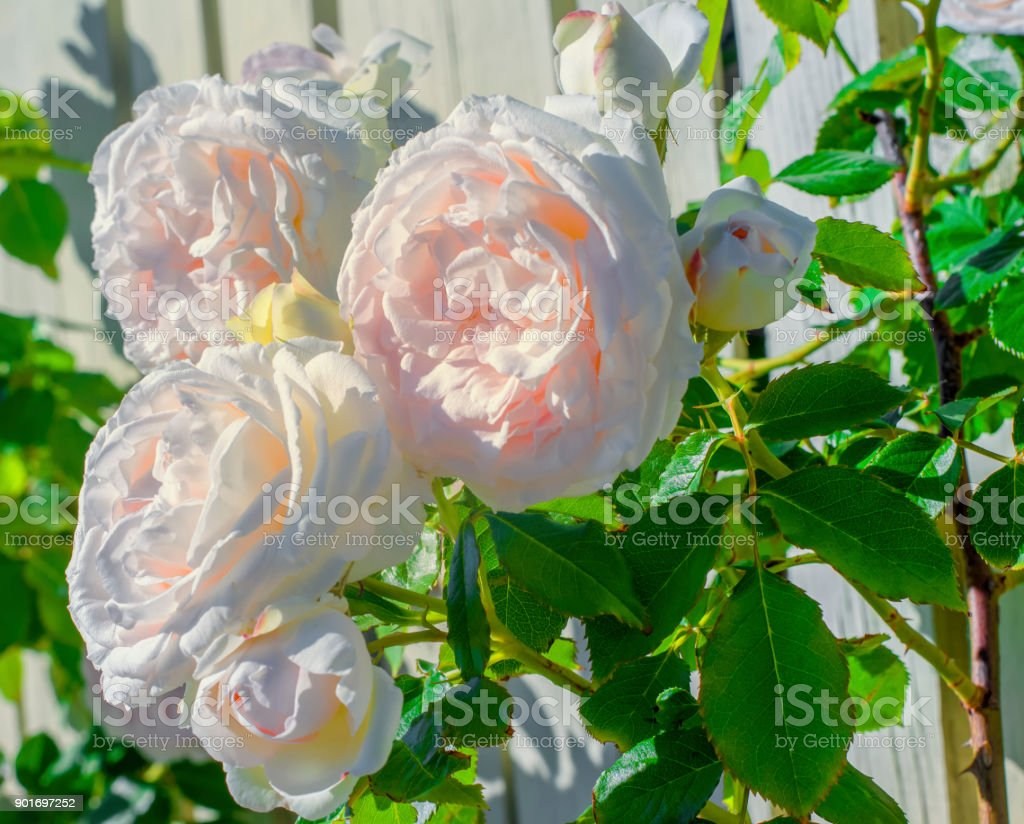 fresh white roses stock photo