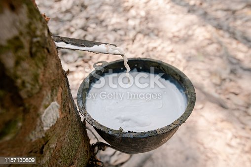 Fresh white rubber latex flows from the rubber tree. Into the cup in the rubber plantation.